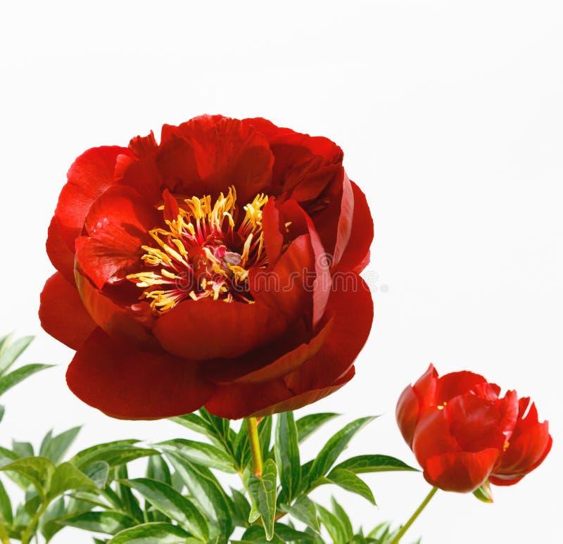 Flor roja de la peonía aislada en el fondo blanco imagen de archivo libre de regalías