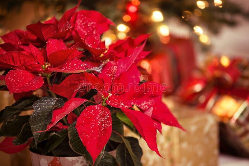 Flor roja de la poinsetia, estrella de la Navidad fotografía de archivo