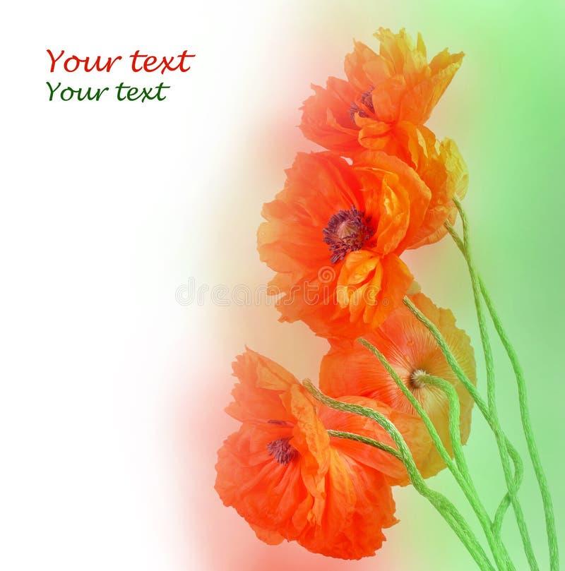 Flor roja de seis amapolas foto de archivo