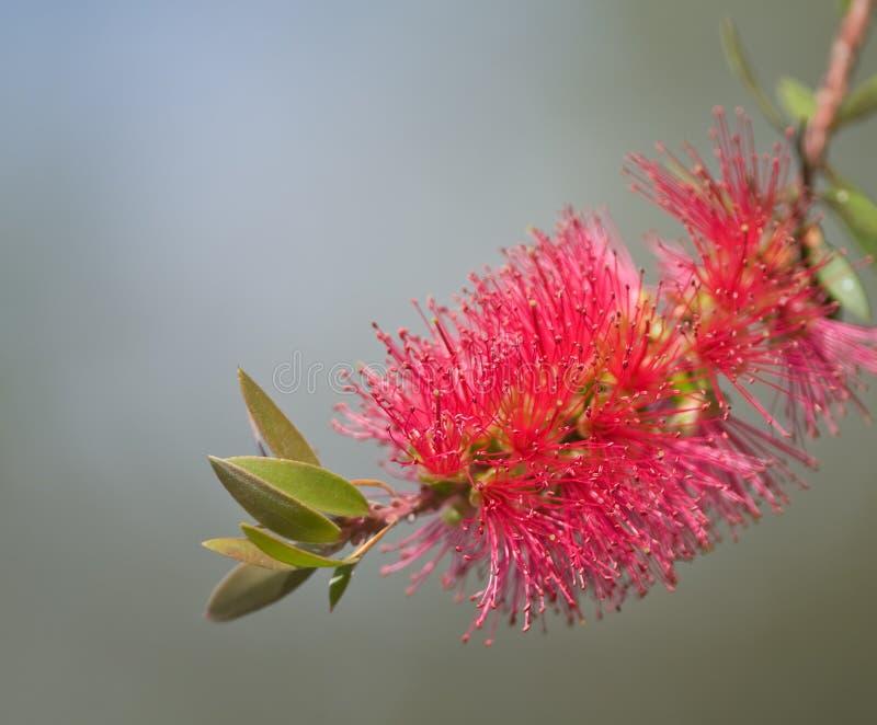 Flor roja del botella-cepillo (Callistemon) foto de archivo