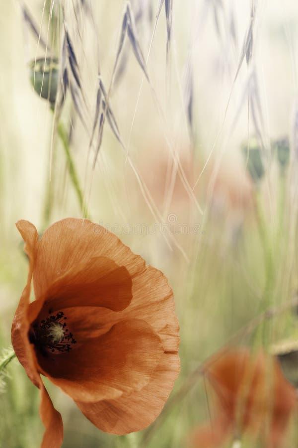 Flor roja del campo del verano de la amapola fotos de archivo