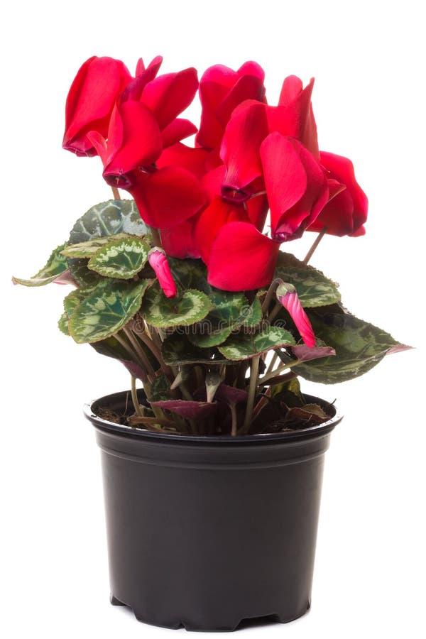 Flor roja del ciclamen imágenes de archivo libres de regalías