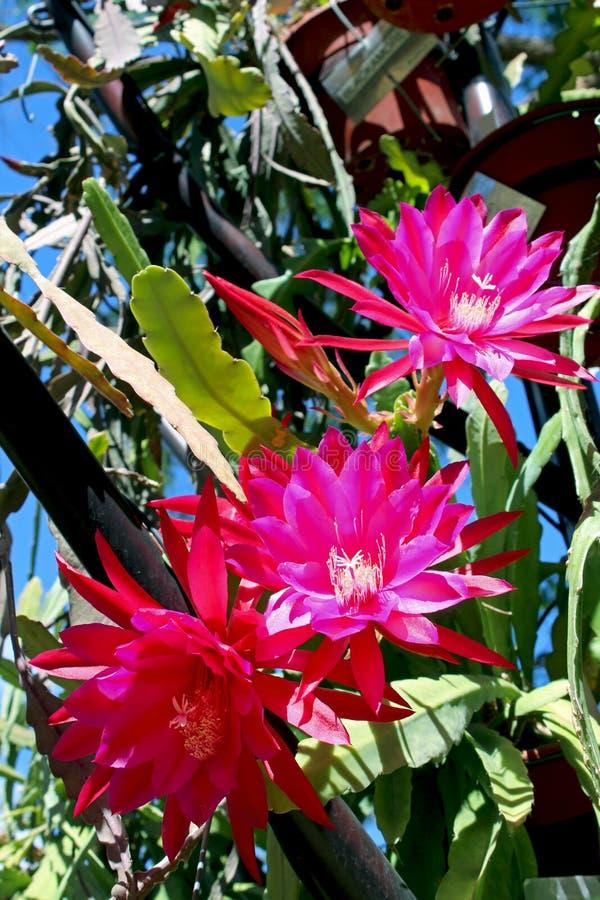 Flor roja del cirio Noche-floreciente, reina de la noche imágenes de archivo libres de regalías