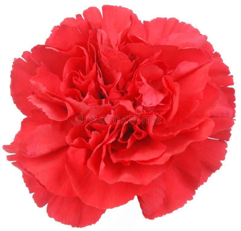 Flor roja del clavel en blanco imagen de archivo