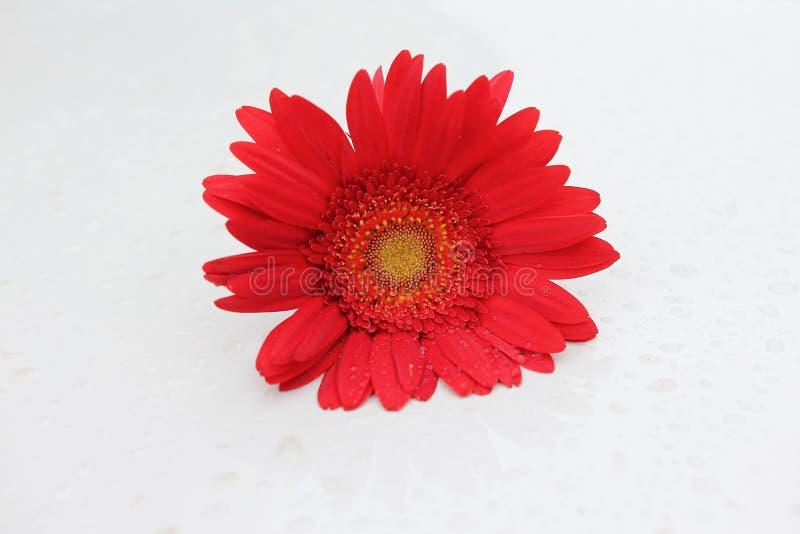 Flor roja del gerbera fotos de archivo