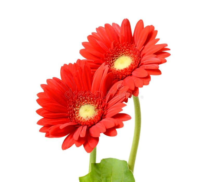 Flor roja del gerbera fotografía de archivo