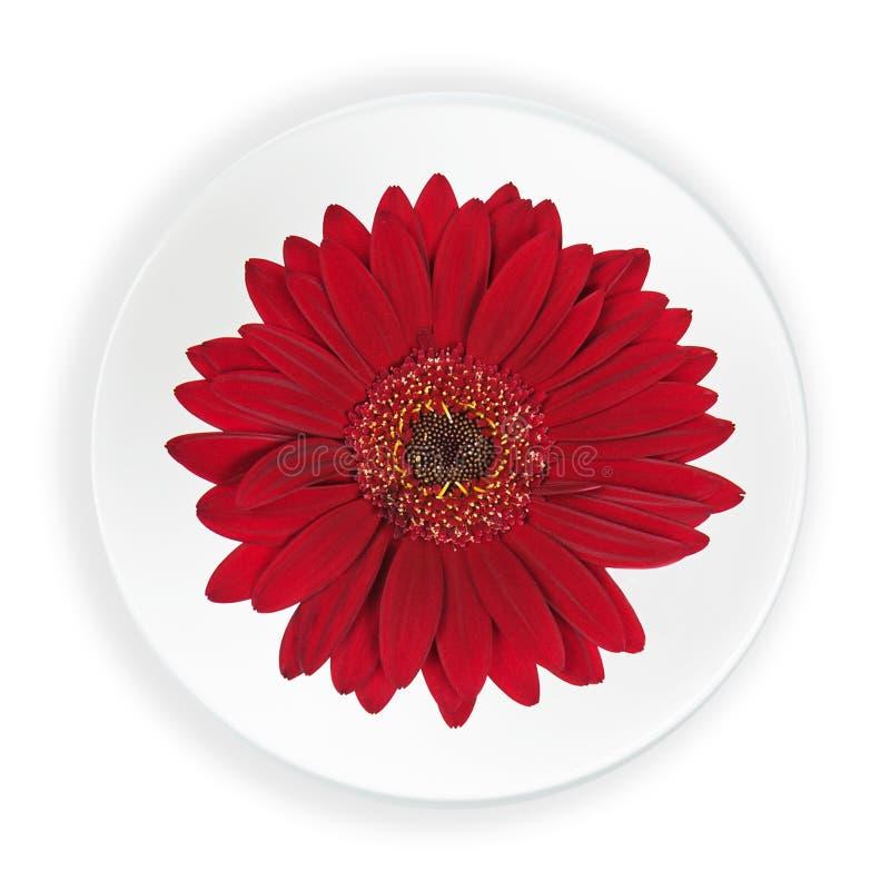 Flor roja del Gerbera en la placa aislada en el fondo blanco imagen de archivo