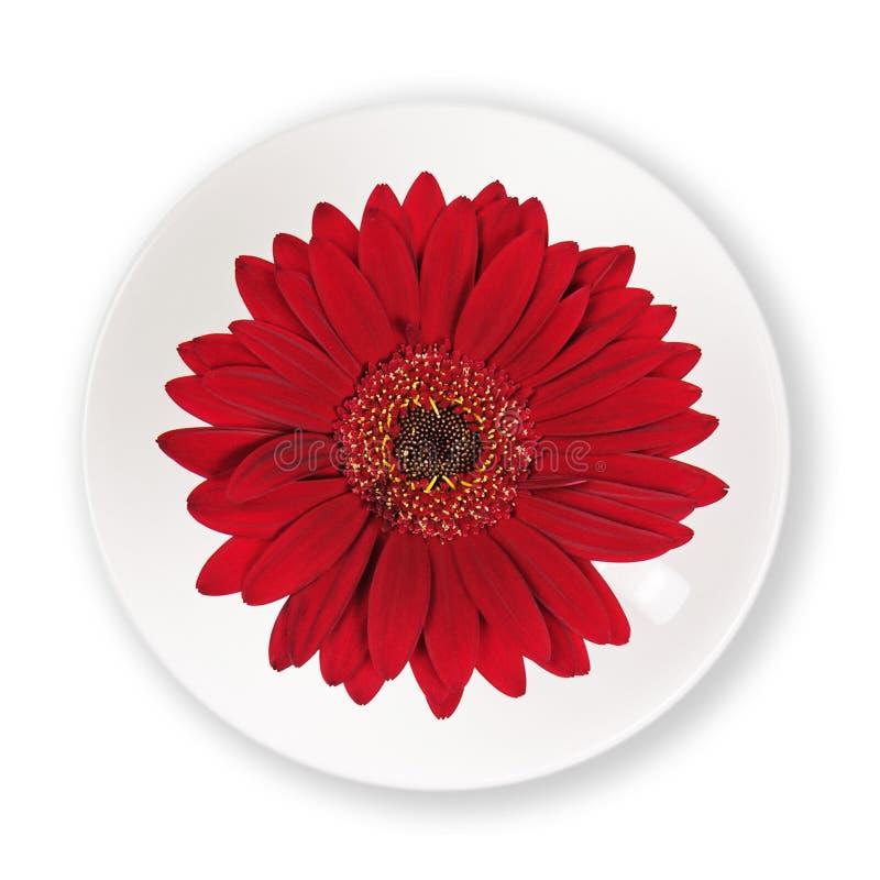 Flor roja del gerbera en la taza y el platillo aislados en el backgroun blanco foto de archivo