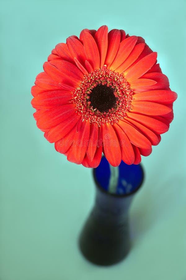 Flor roja del gerbera en primer azul de la opinión superior del florero imagen de archivo libre de regalías