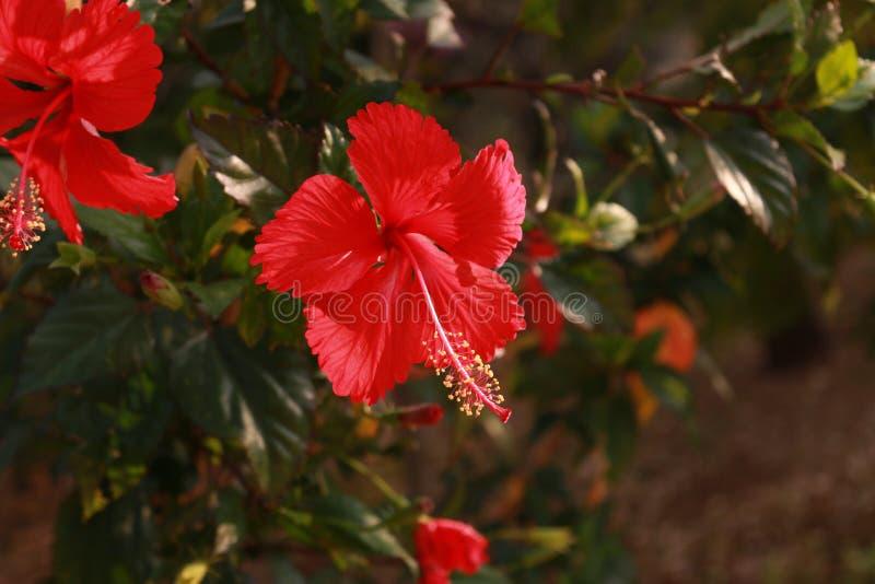 Flor roja del hibisco fotografía de archivo