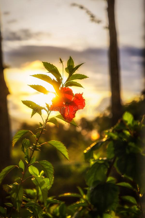 Flor roja del hibisco antes de la puesta del sol Rep?blica del Caribe, Dominicana foto de archivo