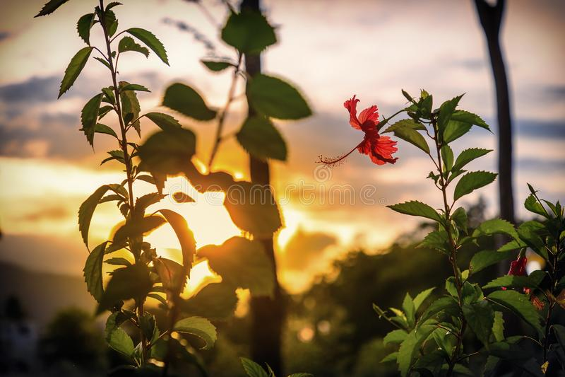 Flor roja del hibisco antes de la puesta del sol Rep?blica del Caribe, Dominicana fotografía de archivo libre de regalías