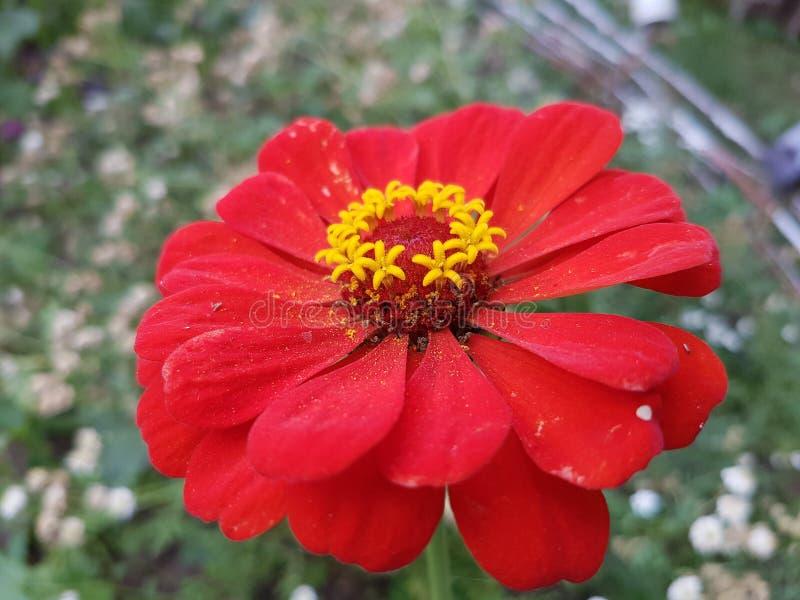 Flor roja del jardín imagen de archivo libre de regalías