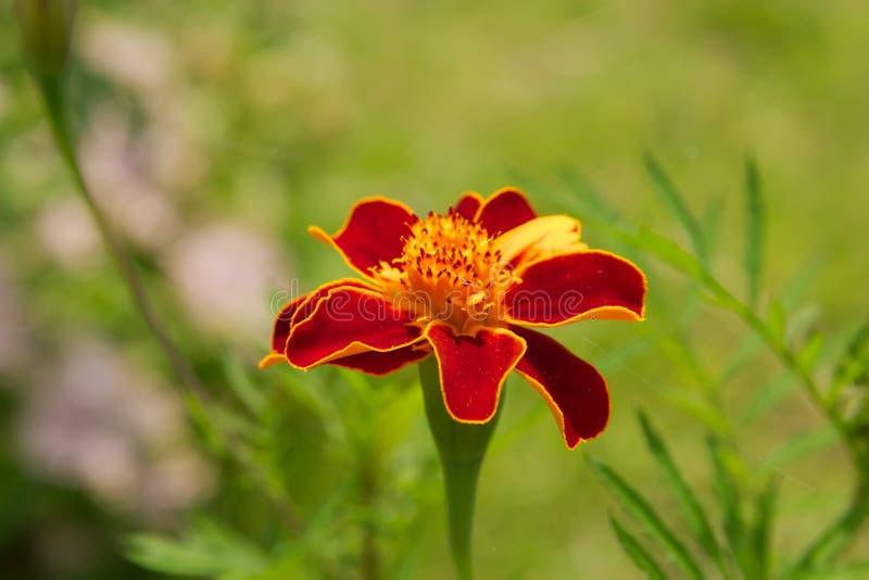 Flor roja del jardín fotografía de archivo