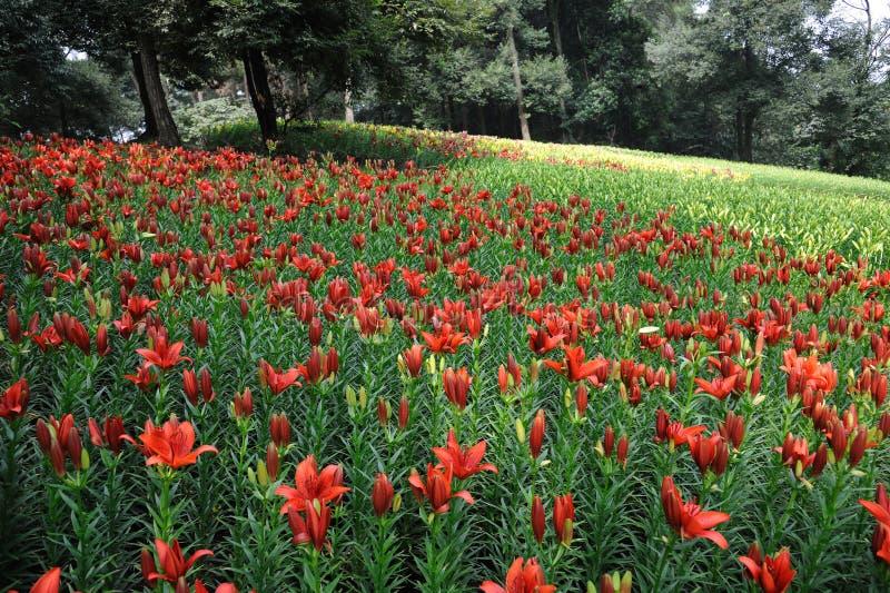 Flor roja del lirio fotos de archivo libres de regalías