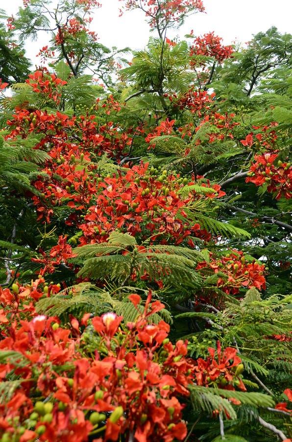 Flor roja del poinciana real o del árbol llamativo imagenes de archivo