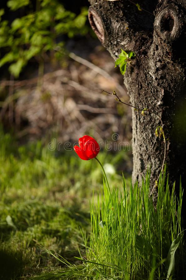 Flor roja del tulipán en hierba verde cerca del árbol grande imagen de archivo