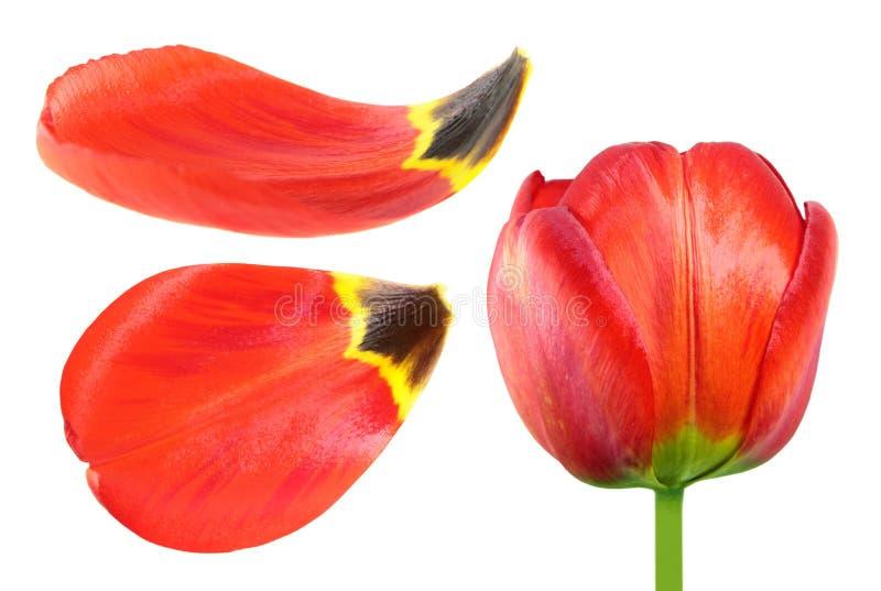 Flor roja del tulipán y primer de los pétalos aislado en el fondo blanco imagen de archivo