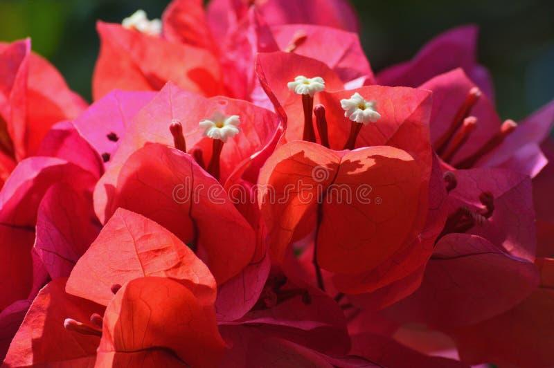 Flor roja el Caribe fotografía de archivo libre de regalías