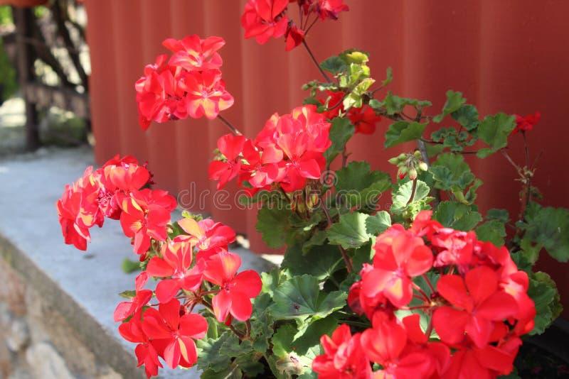 Flor roja en el campo imagenes de archivo