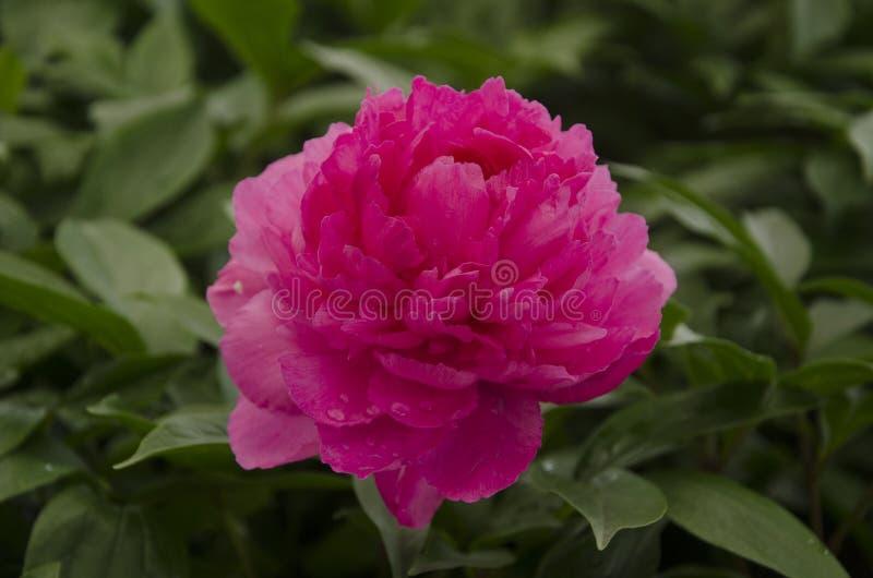 Flor roja en el jard?n fotografía de archivo libre de regalías