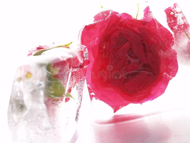 Flor roja en hielo fotos de archivo