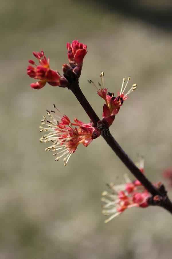 Flor roja en rama de árbol foto de archivo