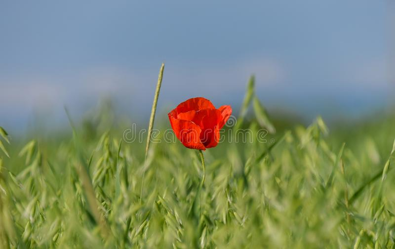 Flor roja en un campo del verde del trigo imágenes de archivo libres de regalías