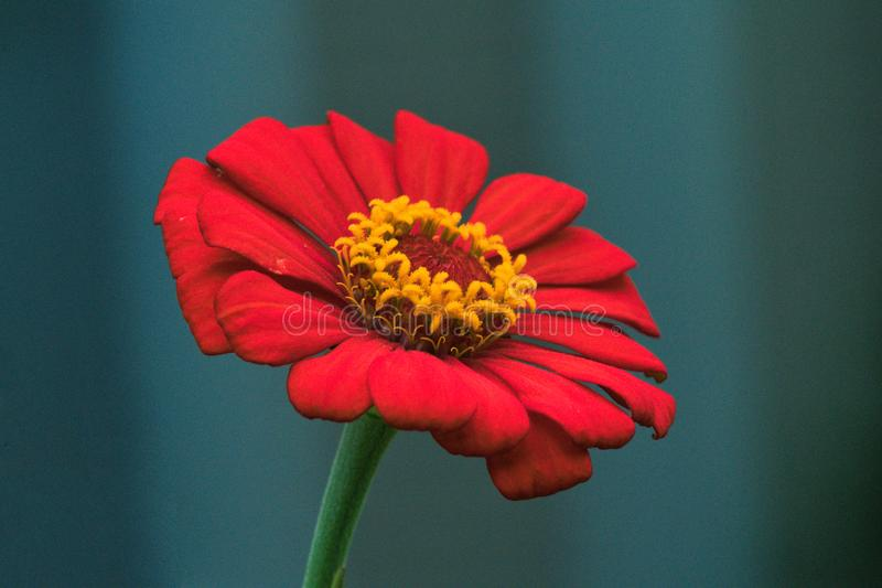 Flor roja exótica con el centro de oro de la piña foto de archivo
