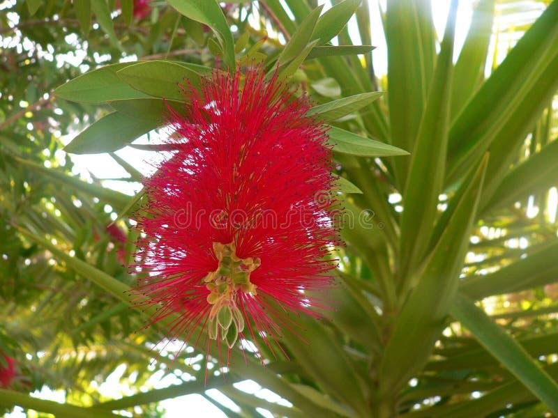 Flor roja extraordinaria del flor en la primavera Estación de primavera mágica imagen de archivo