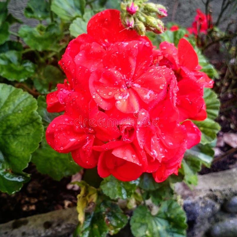 Flor roja, Geranio stock photography