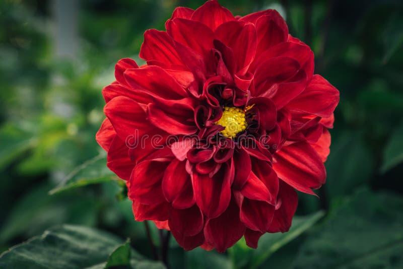 Flor roja grande de la dalia fotografía de archivo