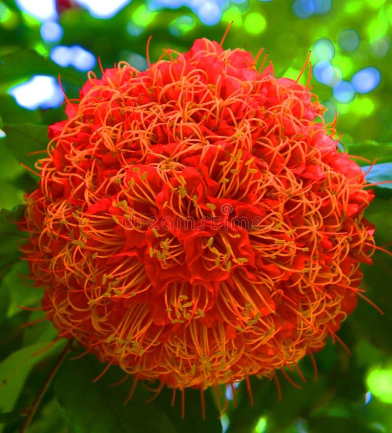 Flor roja grande en Singapur foto de archivo libre de regalías