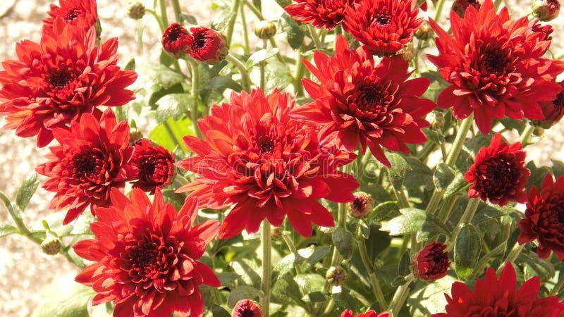 Flor roja hermosa fotografía de archivo libre de regalías