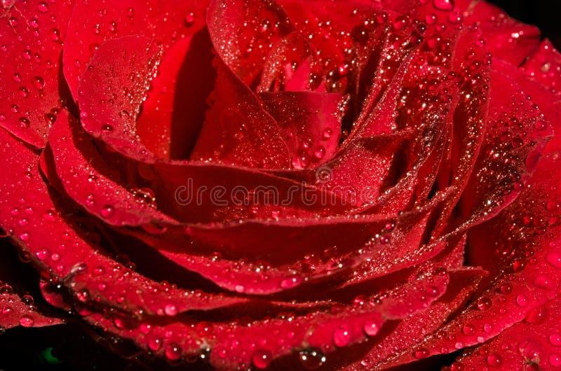 Flor roja hermosa con descensos de rocío en el top, cierre para arriba fondo brillante de la rosa del rojo fotografía de archivo libre de regalías