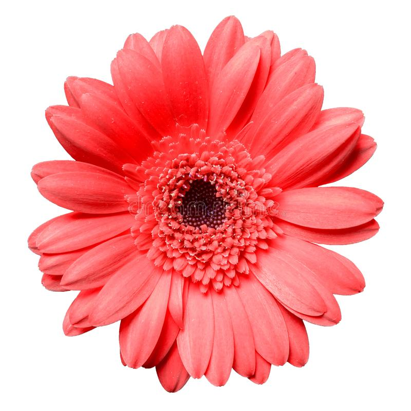 Flor roja hermosa de la margarita del gerbera aislada en el primer blanco del fondo foto de archivo