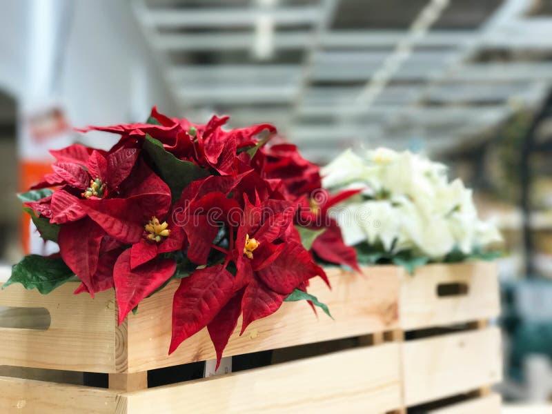 Flor roja hermosa de la Navidad de la poinsetia en caja de madera imagen de archivo