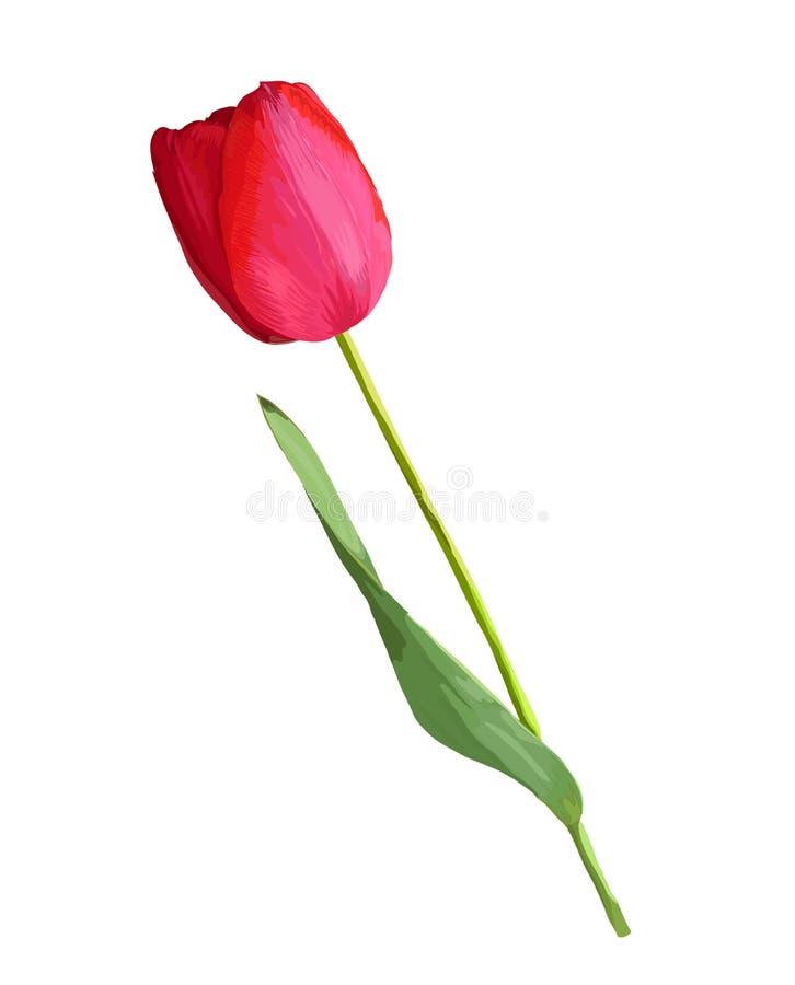 Flor roja hermosa del tulipán con el efecto de un dibujo de la acuarela aislado sobre el fondo blanco stock de ilustración