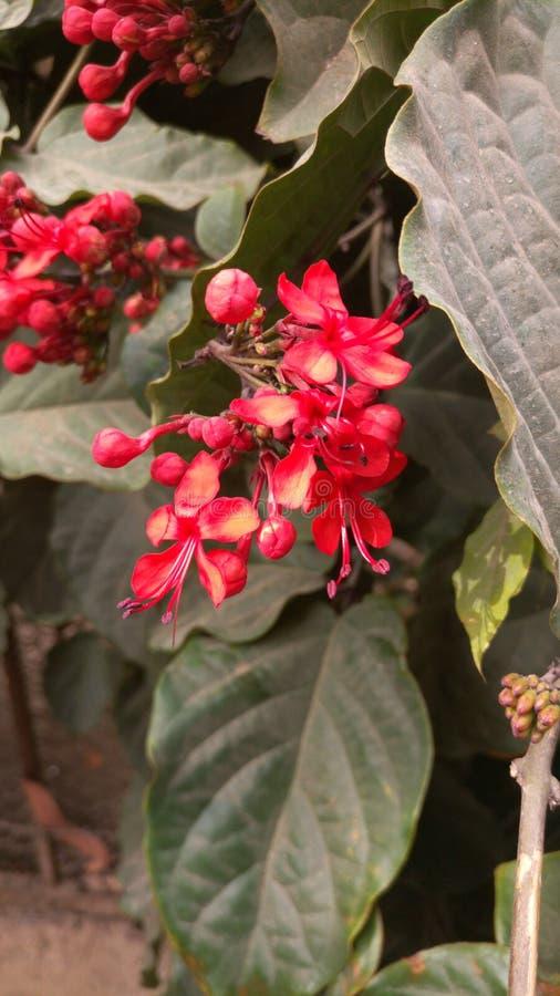 Flor roja por la ma?ana fotos de archivo libres de regalías