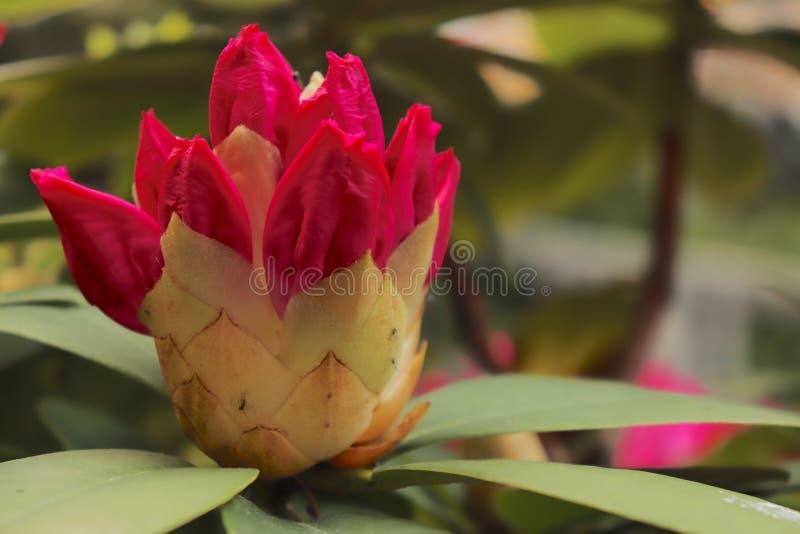 Flor roja que espera para florecer foto de archivo