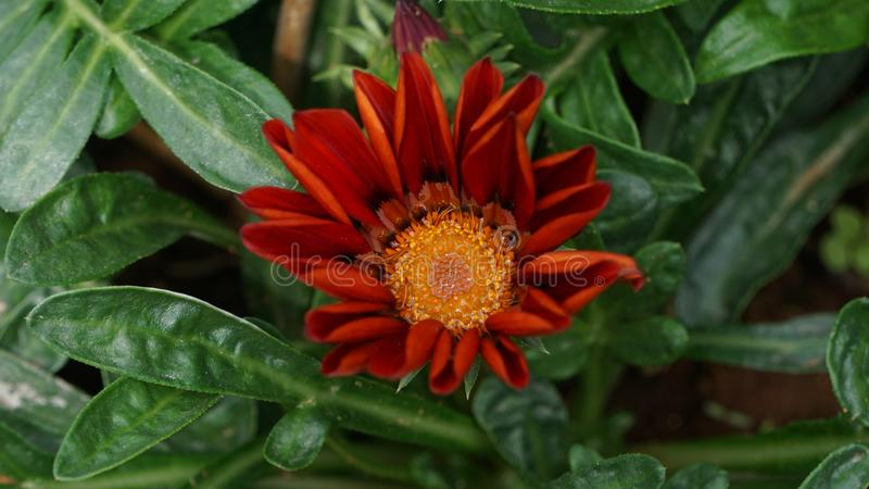 Flor roja real imagenes de archivo