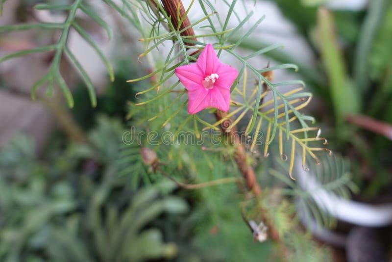 Flor roja rosácea del quamoclit del Ipomoea fotos de archivo libres de regalías