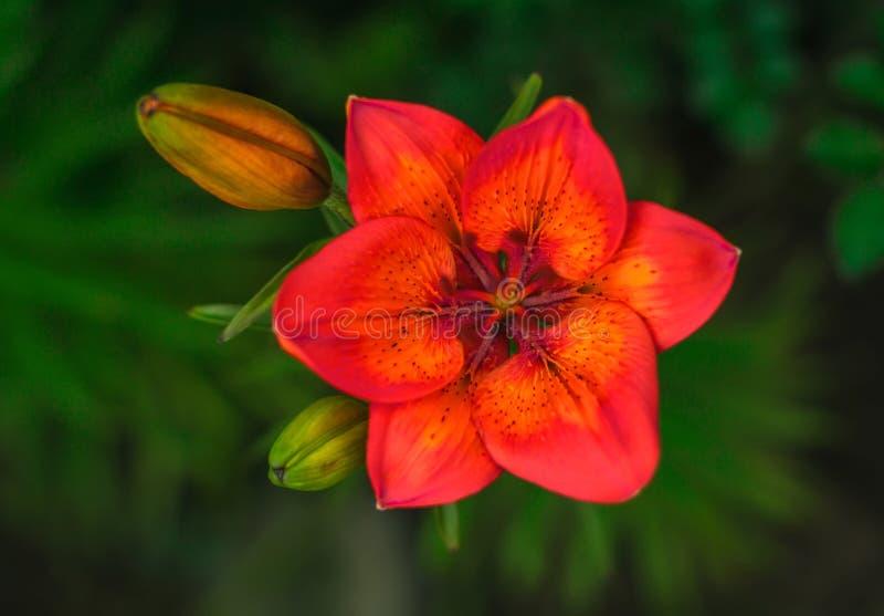 Flor roja salvaje con un brote en el fondo del verde del verano foto de archivo libre de regalías