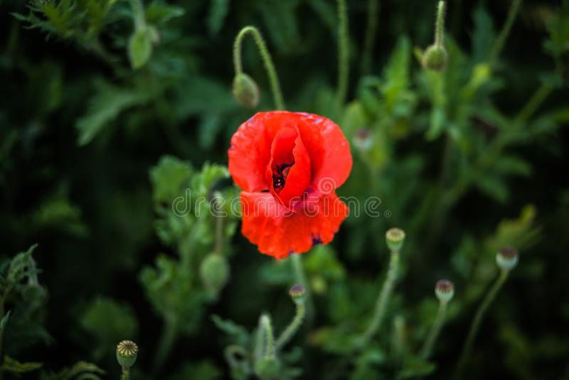 Flor roja sola en el medio del marco, opinión superior de la amapola sobre un fondo del campo verde oscuro denso imágenes de archivo libres de regalías