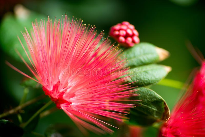 Flor roja tropical de la fan con las hojas y los brotes foto de archivo