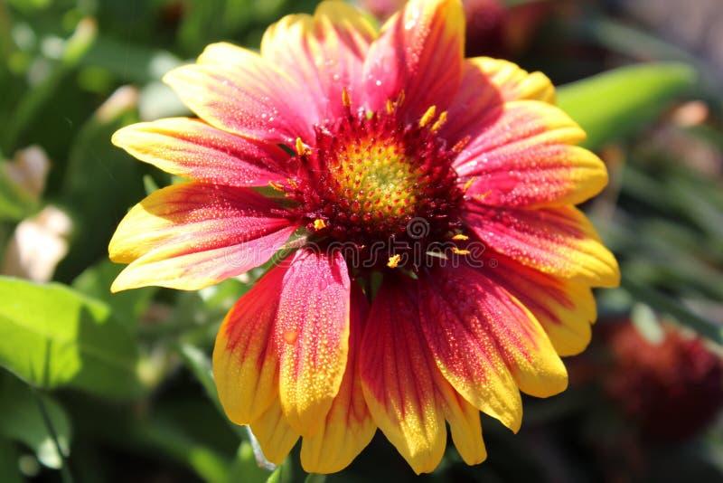 Flor roja y amarilla foto de archivo libre de regalías