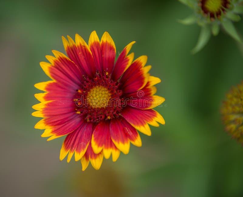 flor roja y amarilla del gallaillarde en un jardín en verano en luz del día fotografía de archivo