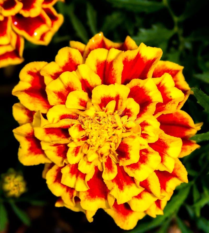 Flor roja y amarilla en la plena floración foto de archivo