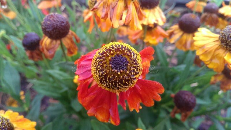 Flor roja y anaranjada imagenes de archivo