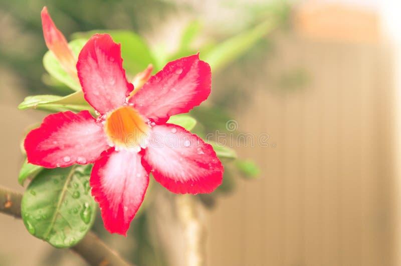 Flor roja y blanca con hojas del verde y un fondo borroso imagen de archivo